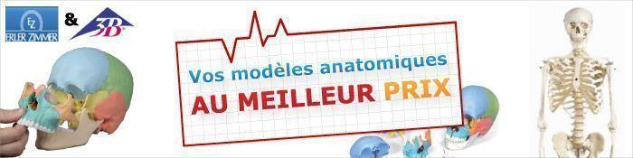 Modèle anatomique : Squelette anatomique, crâne anatomique, logiciel et livre d'anatomie, planche anatomique, 3B Scientific et Erler Zimmer